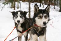 По карелии на собачьих упряжках и снегоходах